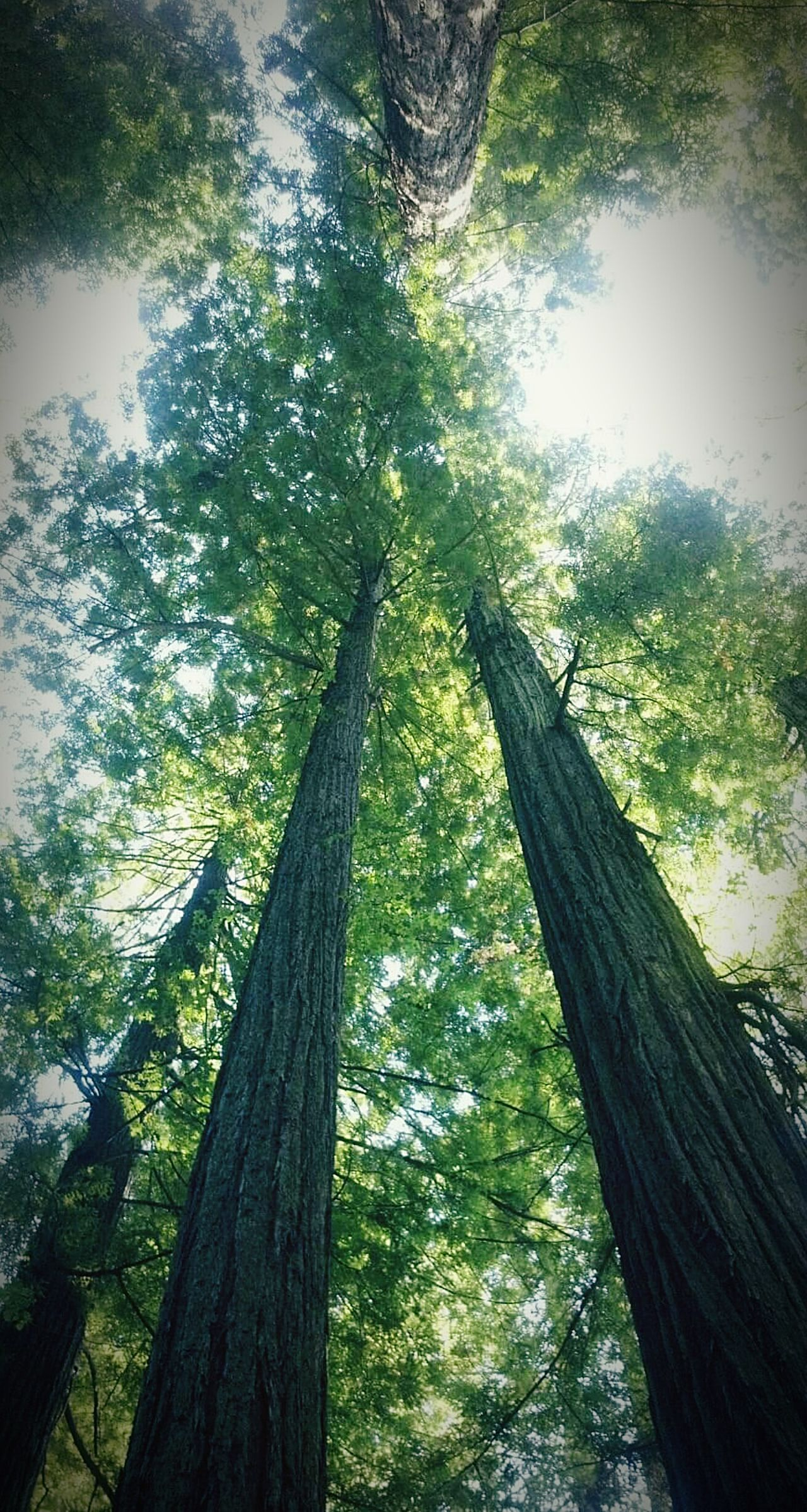 Lookingup to the Redwood Trees Redwood Forest in Northern California WestCoast Tallesttrees Trees Freshness Greenery TheGreatOutdoors Tall Treebranches Fresh Air Nature