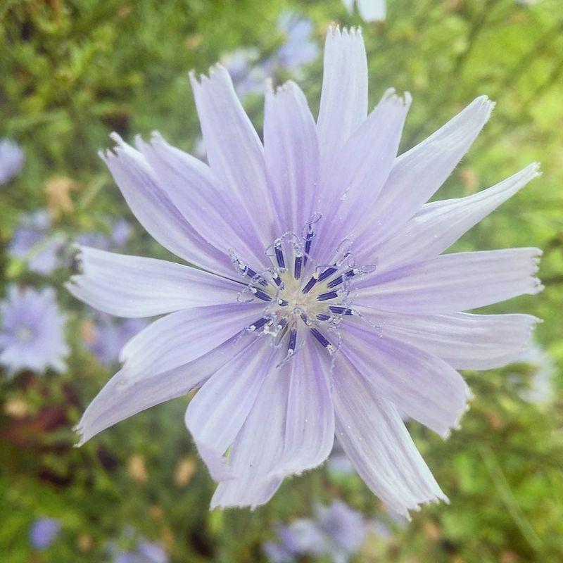 Chicory Flowers Flower Flowerporn Flowerphotography Phonephoto PhonePhotography