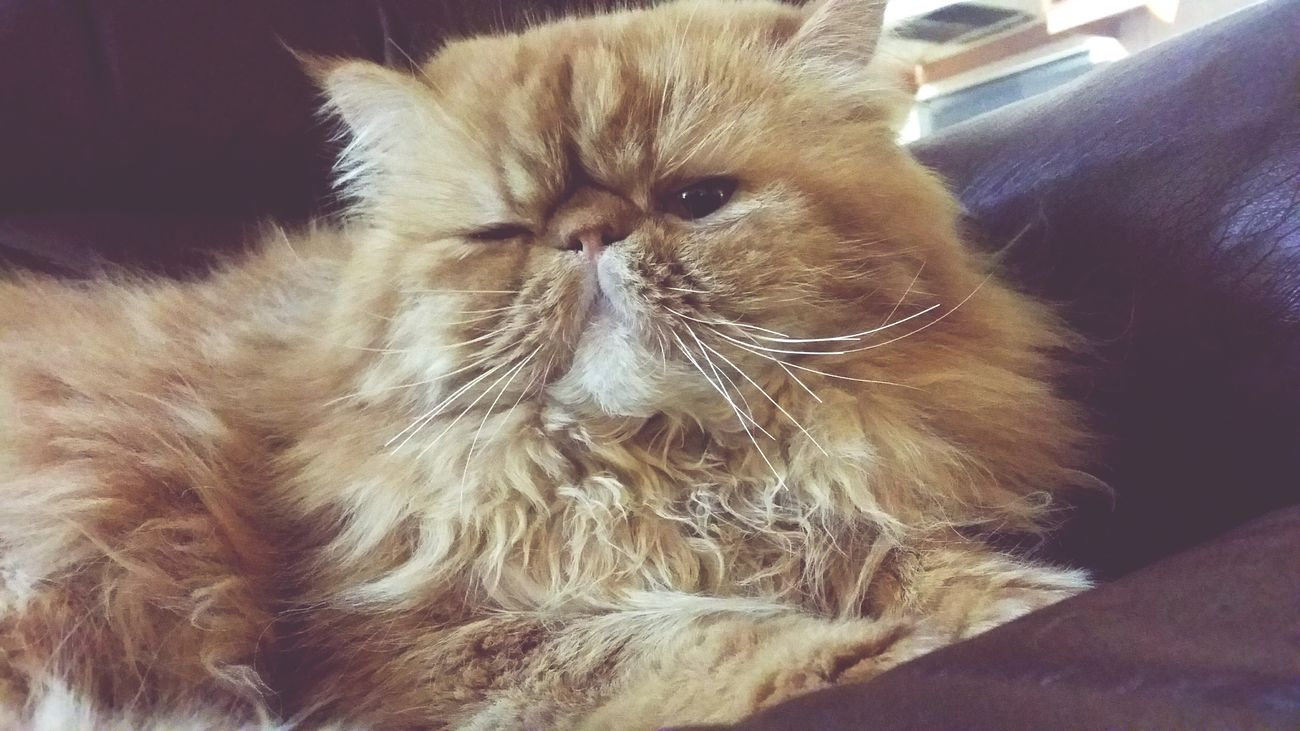 Animal Themes Persian Cat  Pets Feline Katzen Wink Animals Brown Domestic Cat Mammal Domestic Animals One Animal Close-up Indoors  No People Day
