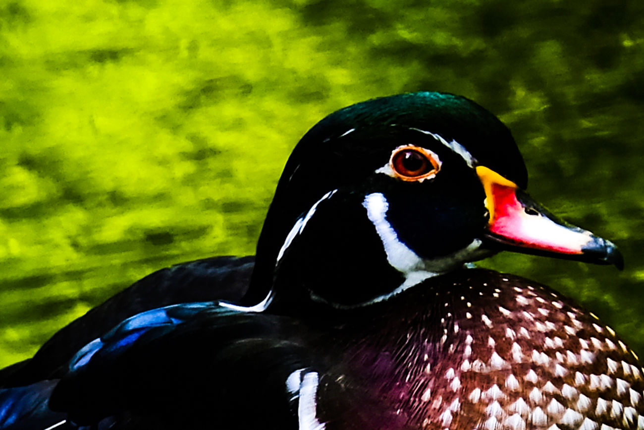 What a duck Animal Animal Eye Animal Head  Animal Themes Animals In The Wild Beak Beauty In Nature Bird Bokeh Close-up Duck Focus On Foreground Fresh On Eyeem  FUJIFILM X-T2 Green Color Looking At Camera Multi Colored Nature No People One Animal Outdoors Wildlife Zoology Zoom Kale