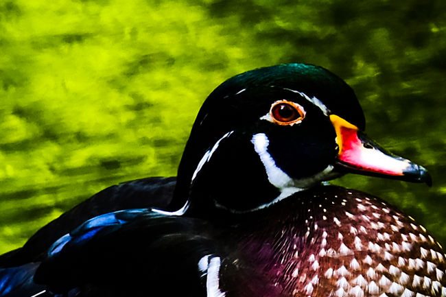 What a duck Animal Animal Eye Animal Head  Animal Themes Animals In The Wild Beak Beauty In Nature Bird Bokeh Close-up Duck Focus On Foreground Fresh On Eyeem  FUJIFILM X-T2 Green Color Looking At Camera Multi Colored Nature No People One Animal Outdoors Wildlife Zoology Zoom