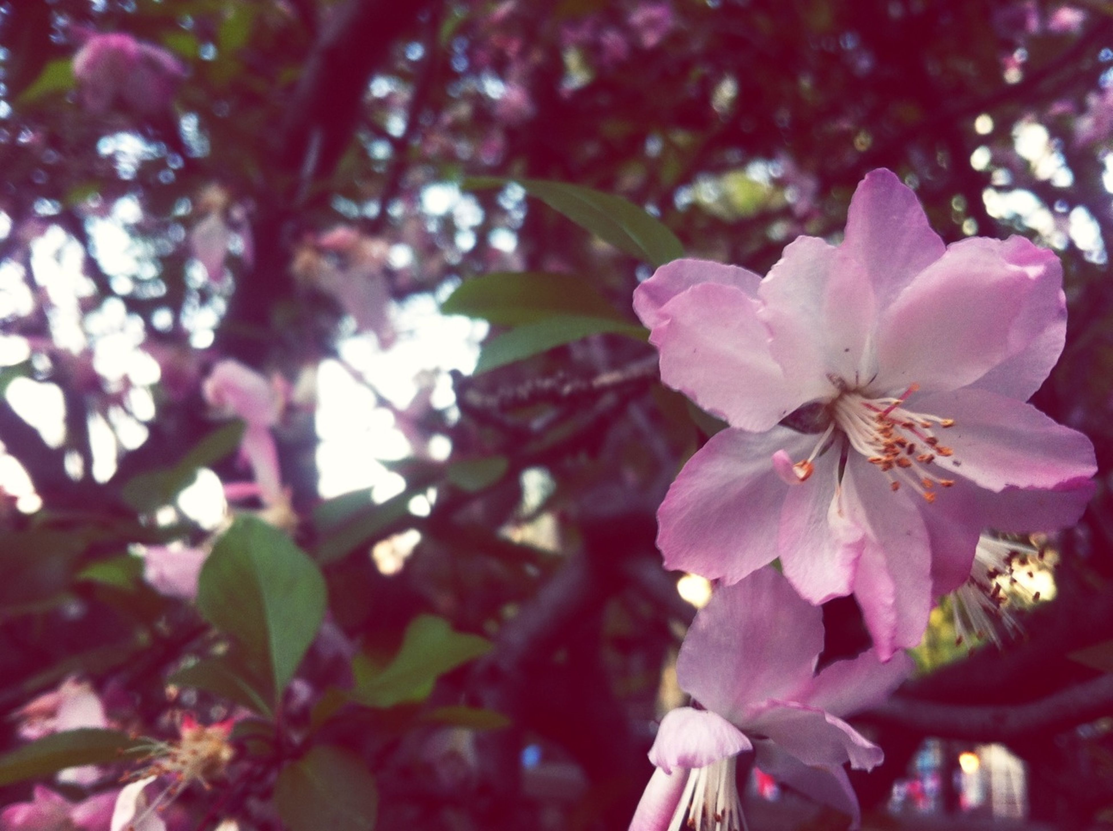 flower, freshness, growth, petal, pink color, fragility, beauty in nature, focus on foreground, close-up, nature, blooming, flower head, tree, branch, in bloom, blossom, plant, day, outdoors, park - man made space