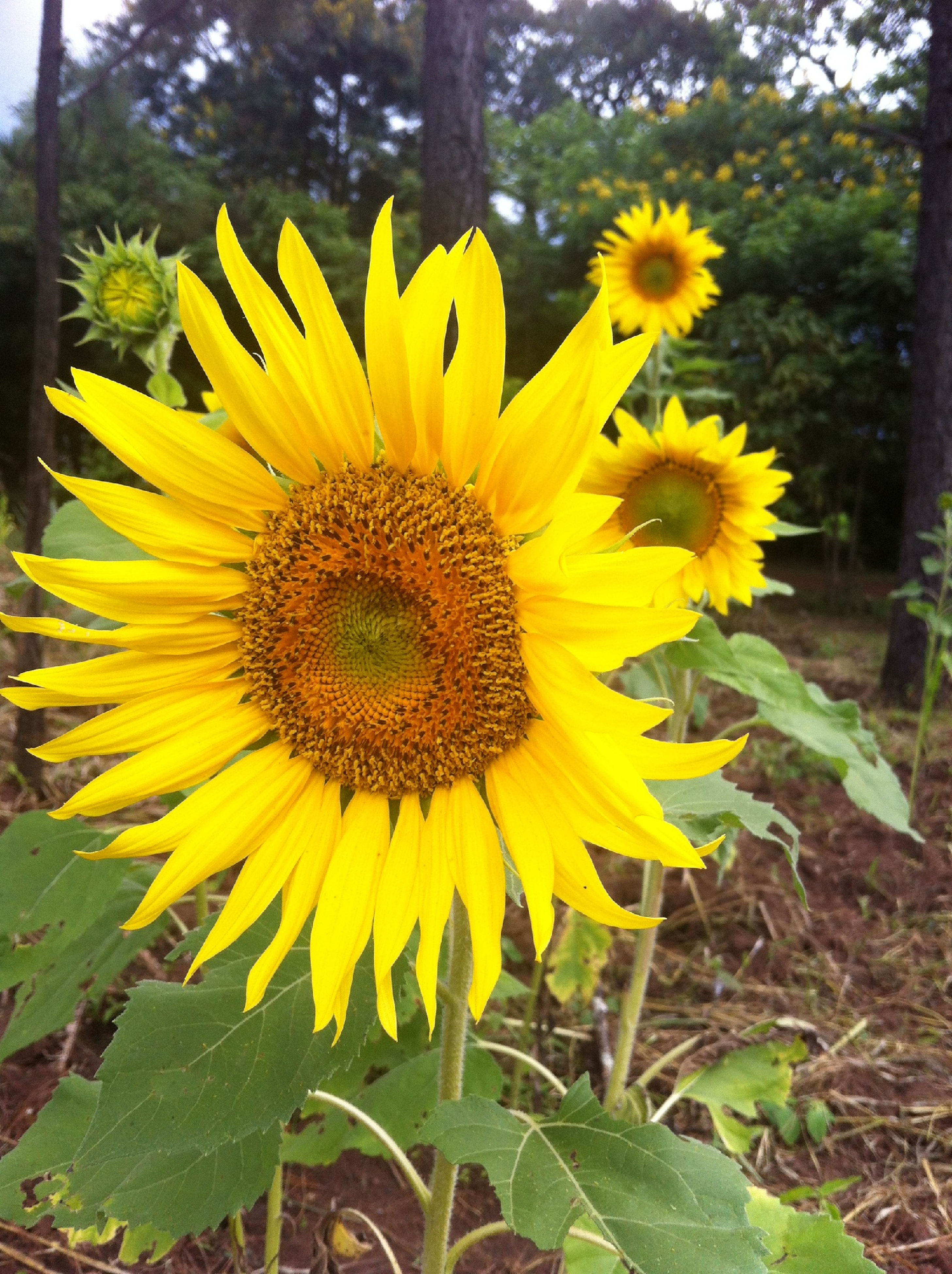 flower, yellow, freshness, petal, fragility, flower head, growth, sunflower, beauty in nature, blooming, plant, pollen, focus on foreground, close-up, nature, in bloom, leaf, single flower, field, day