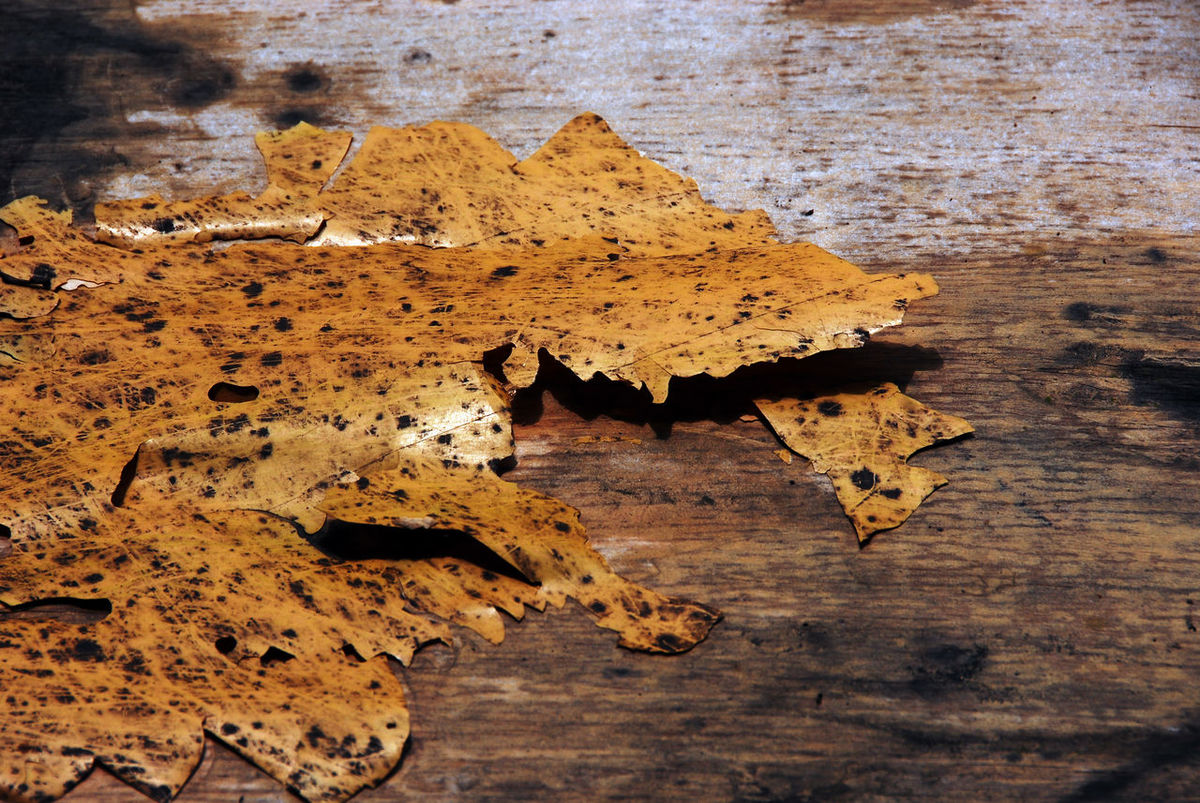 Mottled years ,Traces of years, Animal Themes Autumn Beauty In Nature Close-up Day Leaf Mottled Mottled Surface Nature No People Outdoors Traces Water Years Years Ago Years Old