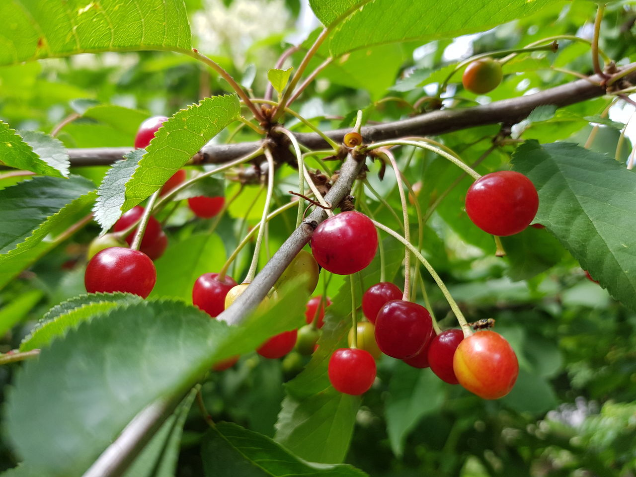 fruit, red, food and drink, growth, food, tree, nature, growing, green color, outdoors, day, rowanberry, leaf, freshness, close-up, rose hip, no people, beauty in nature, branch, healthy eating