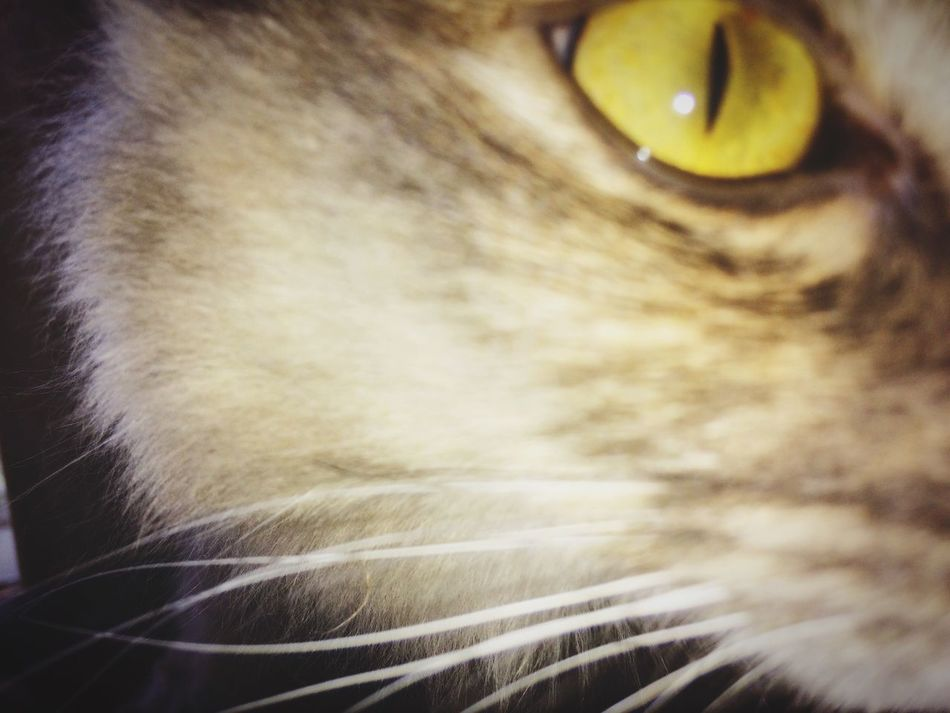 Cat Eye. Domestic Cat Close-up Feline Pets Love Colours Daily Life Kitty
