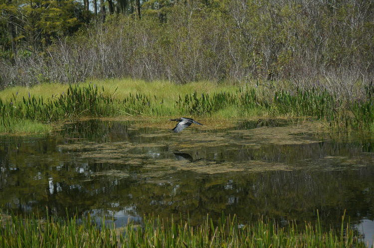 Animal Themes Animals In The Wild Bird Black Heron Duck Florida Forest Grass Green Color Lake Louisiana Marsh Nature Non-urban Scene One Animal Plant Reflection Swamp Swimming Tranquil Scene Tranquility Water Water Bird Wetland Wildlife