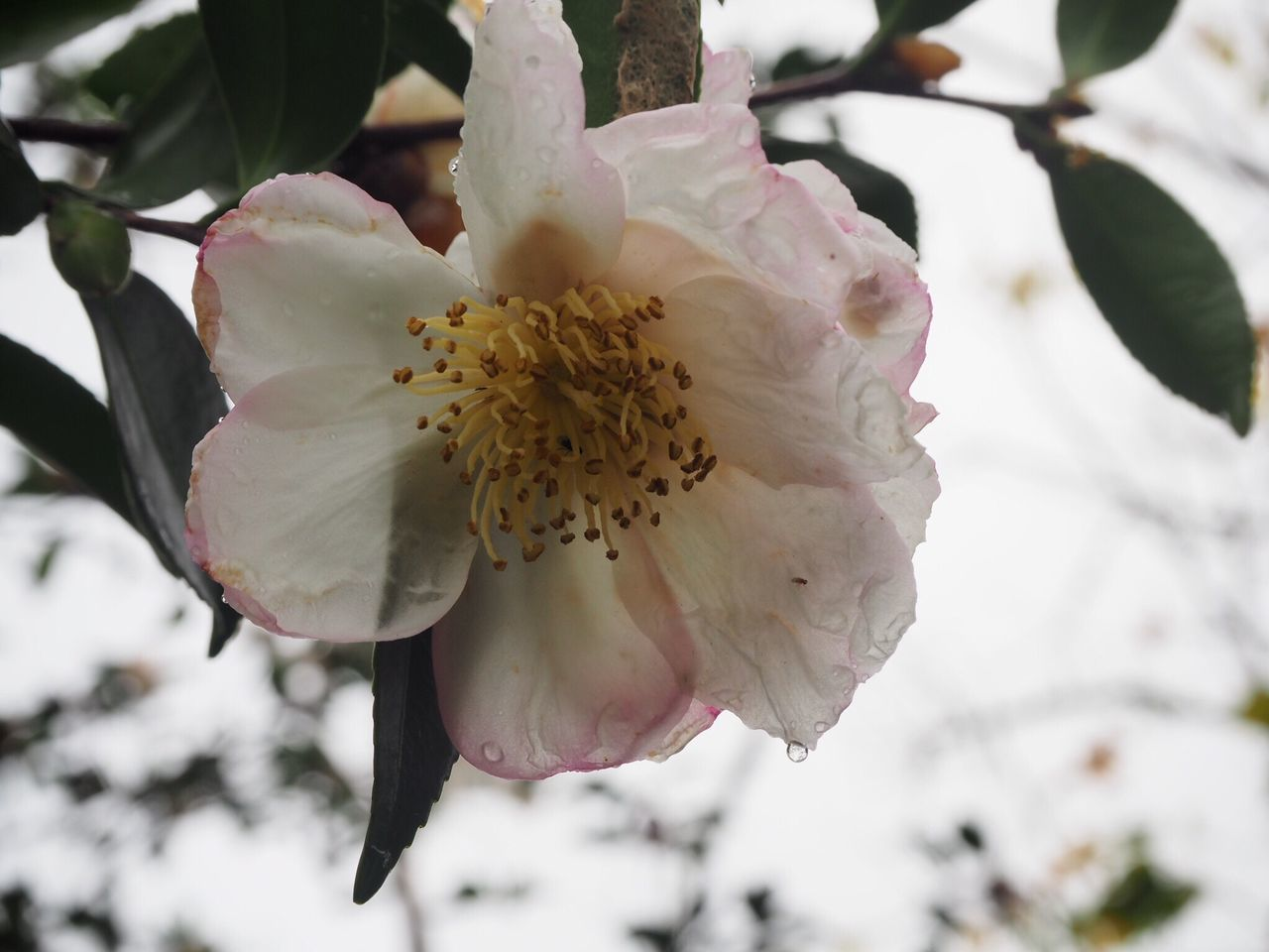 After the rain Flower Fragility Beauty In Nature Petal Nature Flower Head Blossom Freshness White Color Close-up Stamen Branch Camellia Raindrops
