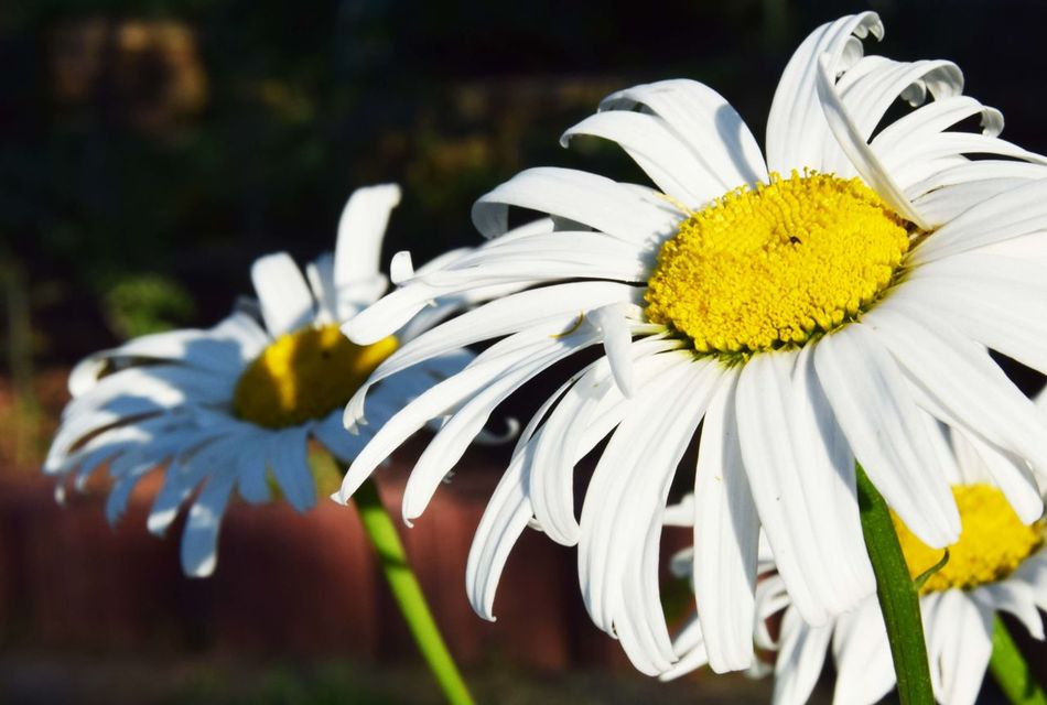 White margarites in the afternoon Beauty In Nature Blooming Close-up Daisy Flower Flower Head Focus On Foreground Fragility Freshness Garden Garden Photography Growth In Bloom Margarita Margaritas Margarite Margarites Nature Petal Plant Selective Focus Softness White White Color