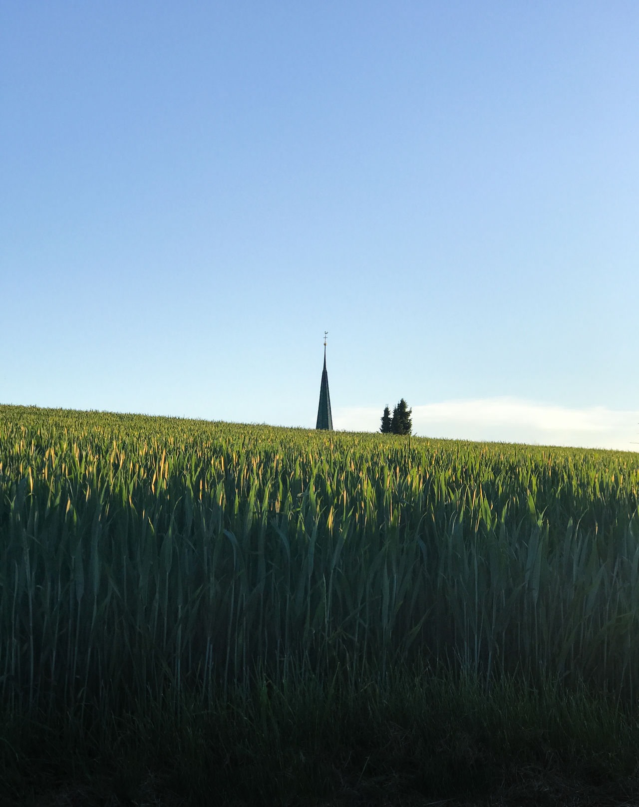 Agriculture Beauty In Nature Cereal Plant Church Church Tower Clear Sky Crop  Field Grass Growth Landscape Landscape_Collection Landscape_photography Landscapes Minimal Minimalism Minimalobsession Nature Nature Photography No People Outdoors Plant Rural Scene Sky Wheat iphone crop