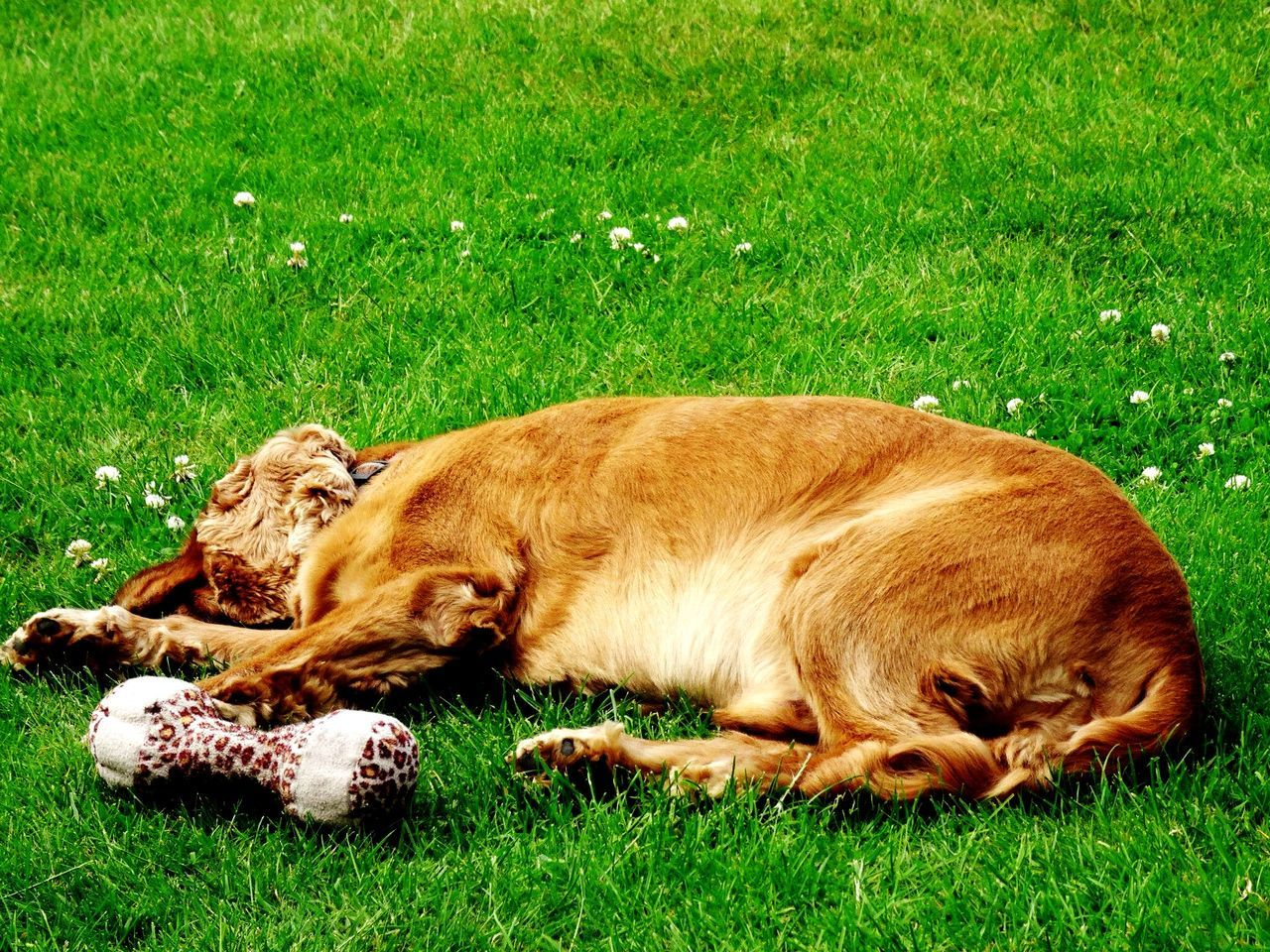 Beautiful stock photos of golden retrievers, Animal Themes, Bone, Day, Dog