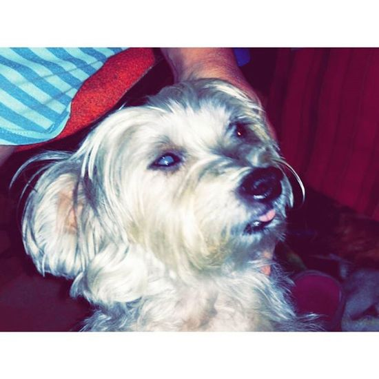 I love this photo of her. I just hate that her cataracts are so bad. Dogsofinstagram Yorkie Maltese Morkie Pup Cataract