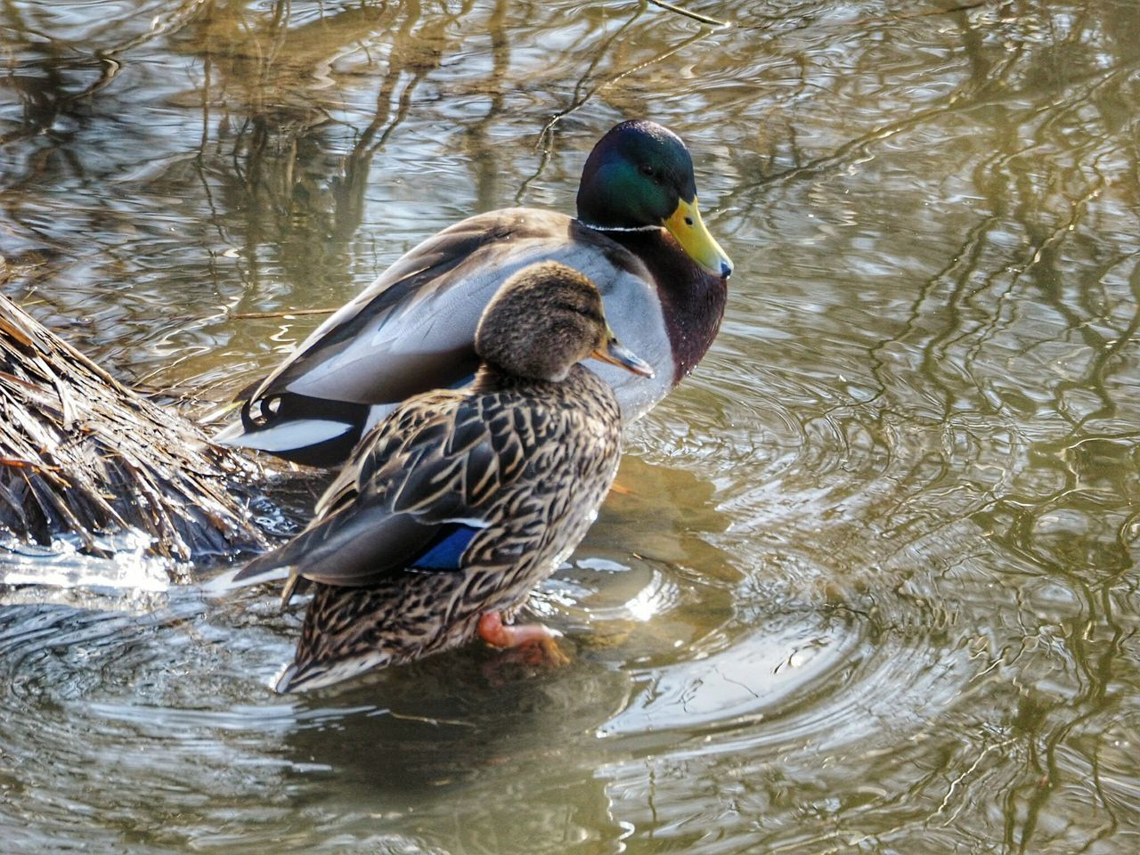 Bird Animal Themes Animals In The Wild Water Animal Wildlife Duck Nature Swimming Water Bird Beauty In Nature Nature Winter Nature Outside Sea Bird Animals In The Wild Ducks In Water Duck Couple