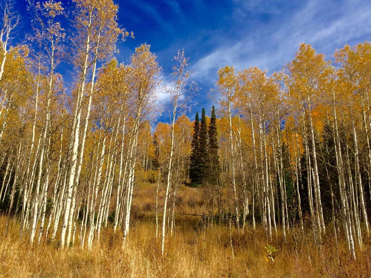 Aspens in fall Aspens Aspen Trees Trees Millcreekcanyon Utah United States Hike Fall Fall Beauty Fall Colors Fall Leaves Sky Onthetrail Outdoors Outandabout Group Of Trees IPhoneography