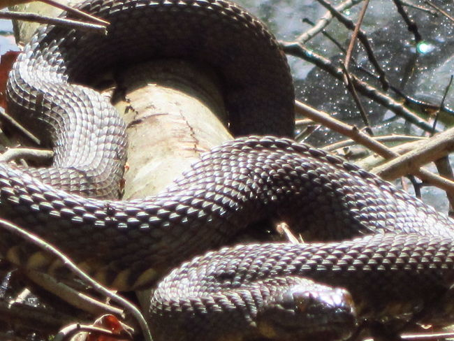Living Dangerously Venomous Snake Pit Viper Water Moccasin Cottonmouth Naturelover❤ Natures Beauty Beauty Everywhere NoEditNoFilter Too Close For Comfort Thrilling