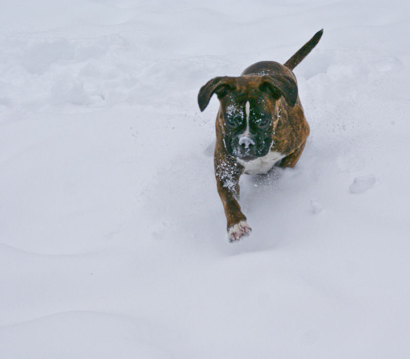 I Love My Dog Boxer Dogs Boxer Boxer Dog Snow ❄ Dog And Snow Dogs Life Dog Love Winter Playing In The Snow Playing