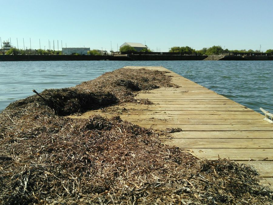 Dead Seaweed from High Tide Wooden Walkway