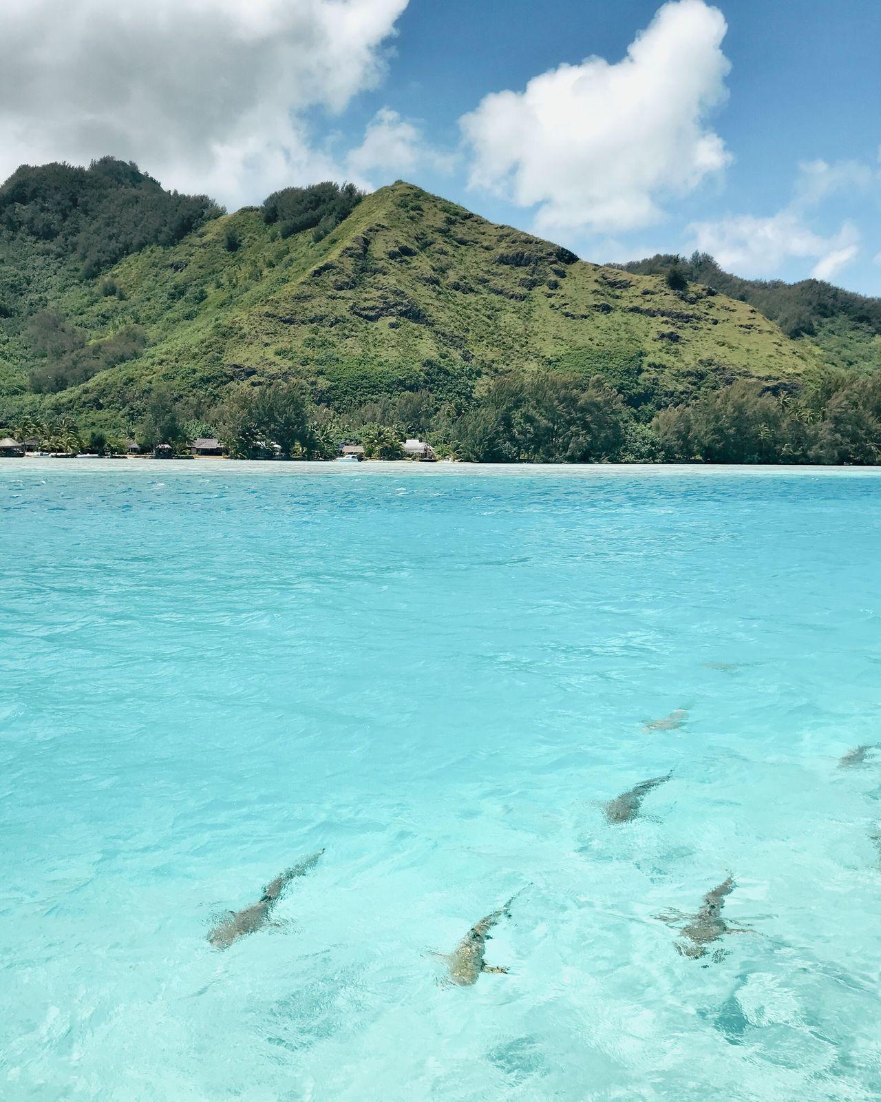 Shark! Shark Sharks Water Bora Bora