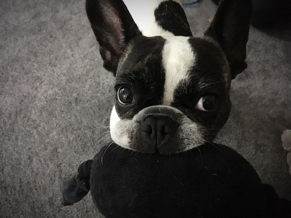 Französische Bulldogge  Frenchbulldog French Bulldog Dog Pets Looking At Camera Close-up Cute Pets Cute Dog  Niedlicher Hund Awww So Cute <3 Awwwwww!!!!!!!!  Aww Dog With Toy French Bulldog With Toy