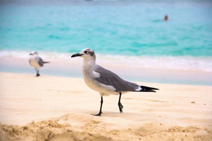 Bahamas Nassau Beach Travel Photography Holiday DECEMBER2015 Carribean Bird Photography Seagull Cruise Hello World Eyem Nature Lovers