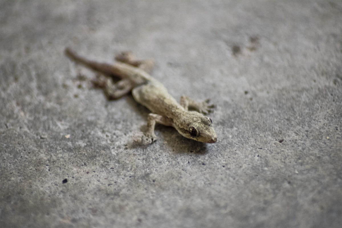 One of the things that scares my mother... Though at times it looks uncannily adorable to me... Canon Canonphotography Close-up Dirty Focus On Foreground Lizard Reptile Rough Selective Focus House Gecko Gecko