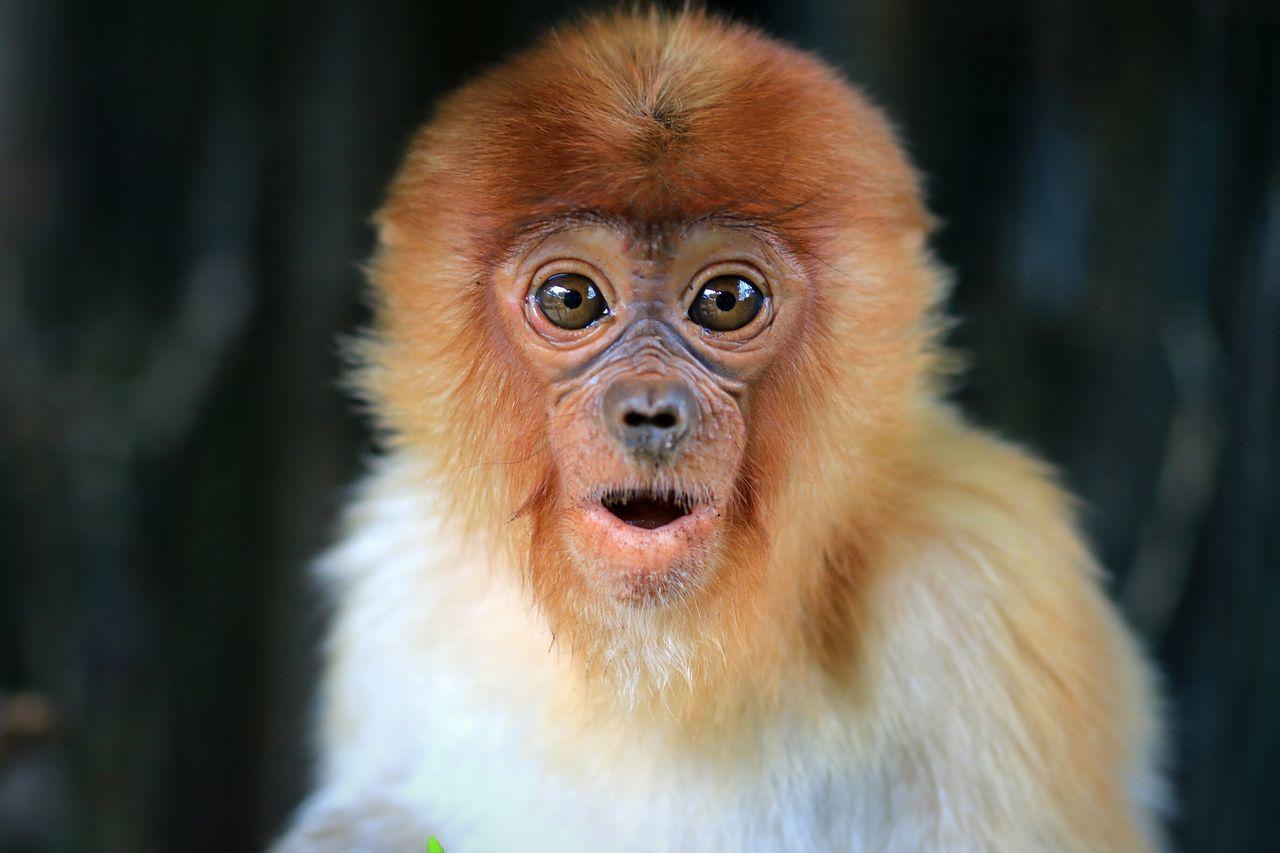 Beautiful stock photos of monkey, Animal Mouth, Animal Themes, Animal Wildlife, Animals In The Wild