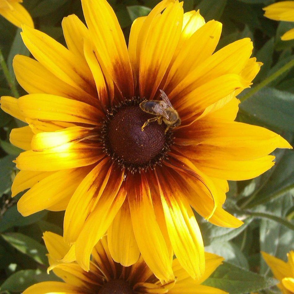 Flower Nature Bee Sunflower