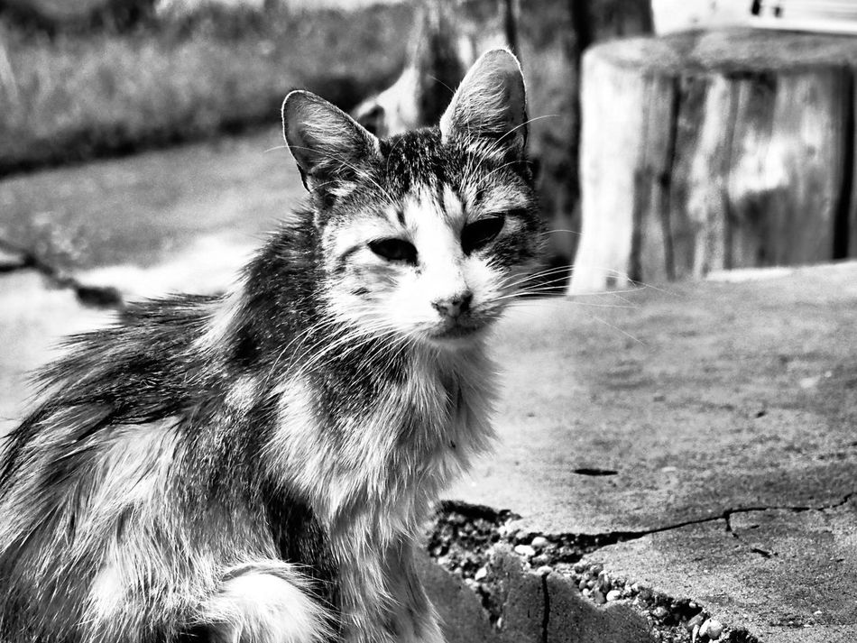 Alertness Animal Eye Animal Head  Animal Themes Cat Close-up Day Domestic Animals Domestic Cat Feline Focus On Foreground Homeless Homeless Cats Kacér Mammal Nature No People Outdoors Pets Portrait Selective Focus Smelly Cat Staring Whisker Showcase July