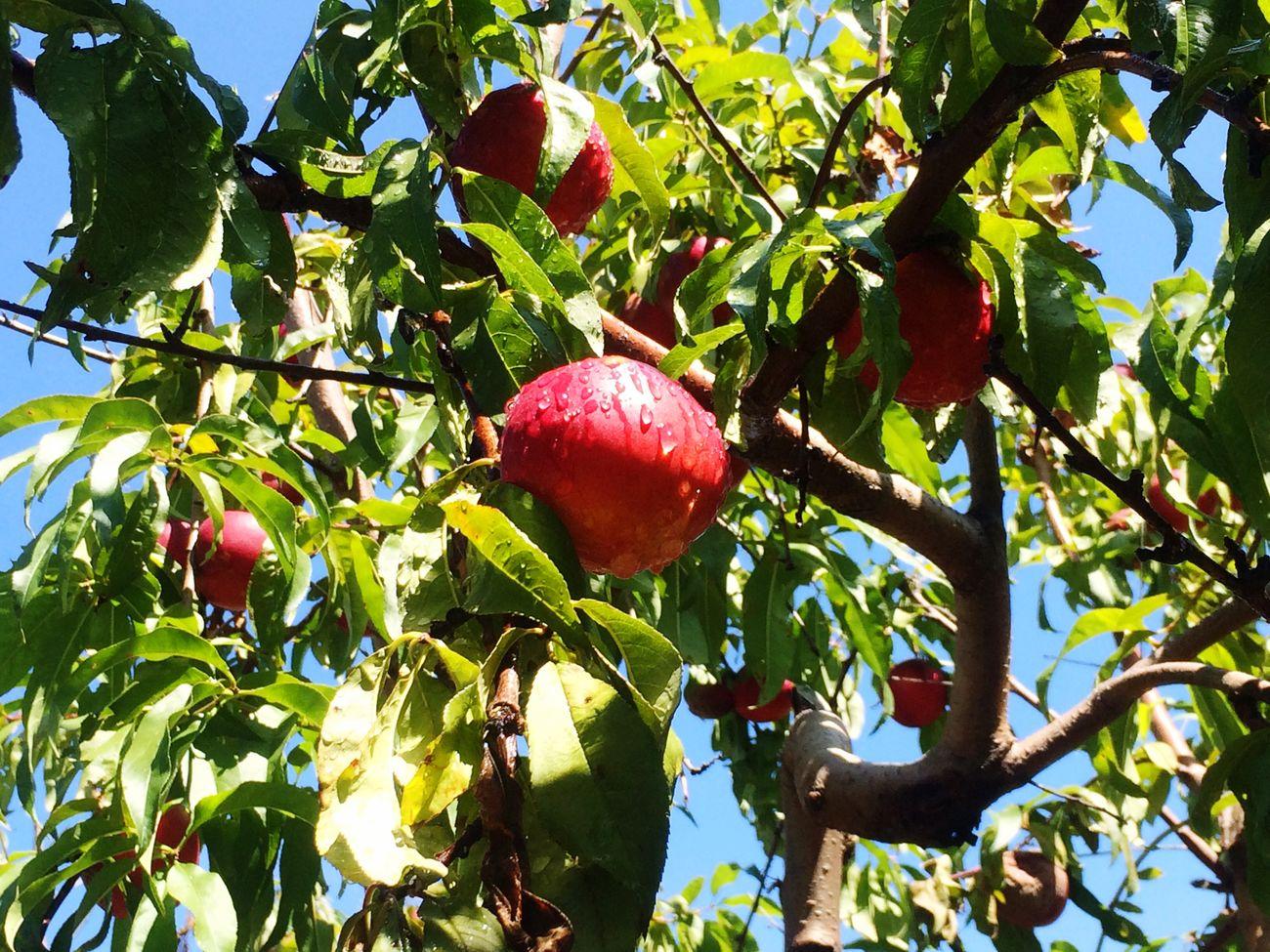 Fresh Produce Picking Nectarines