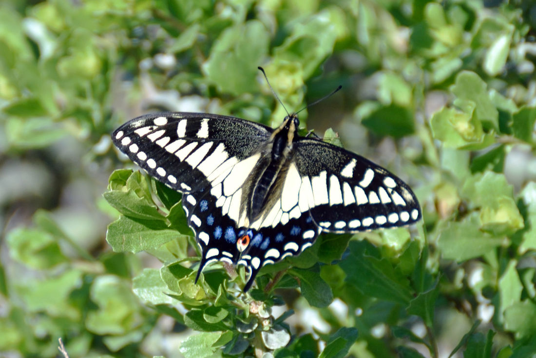Tiger Swallowtail Butterfly @ San Leandro Shoreline Trail 1 Papilio Glaucus Papilioninae Female Butterfly Blue Spots HindwingsYellow & Black Stripes Nature Nature_collection