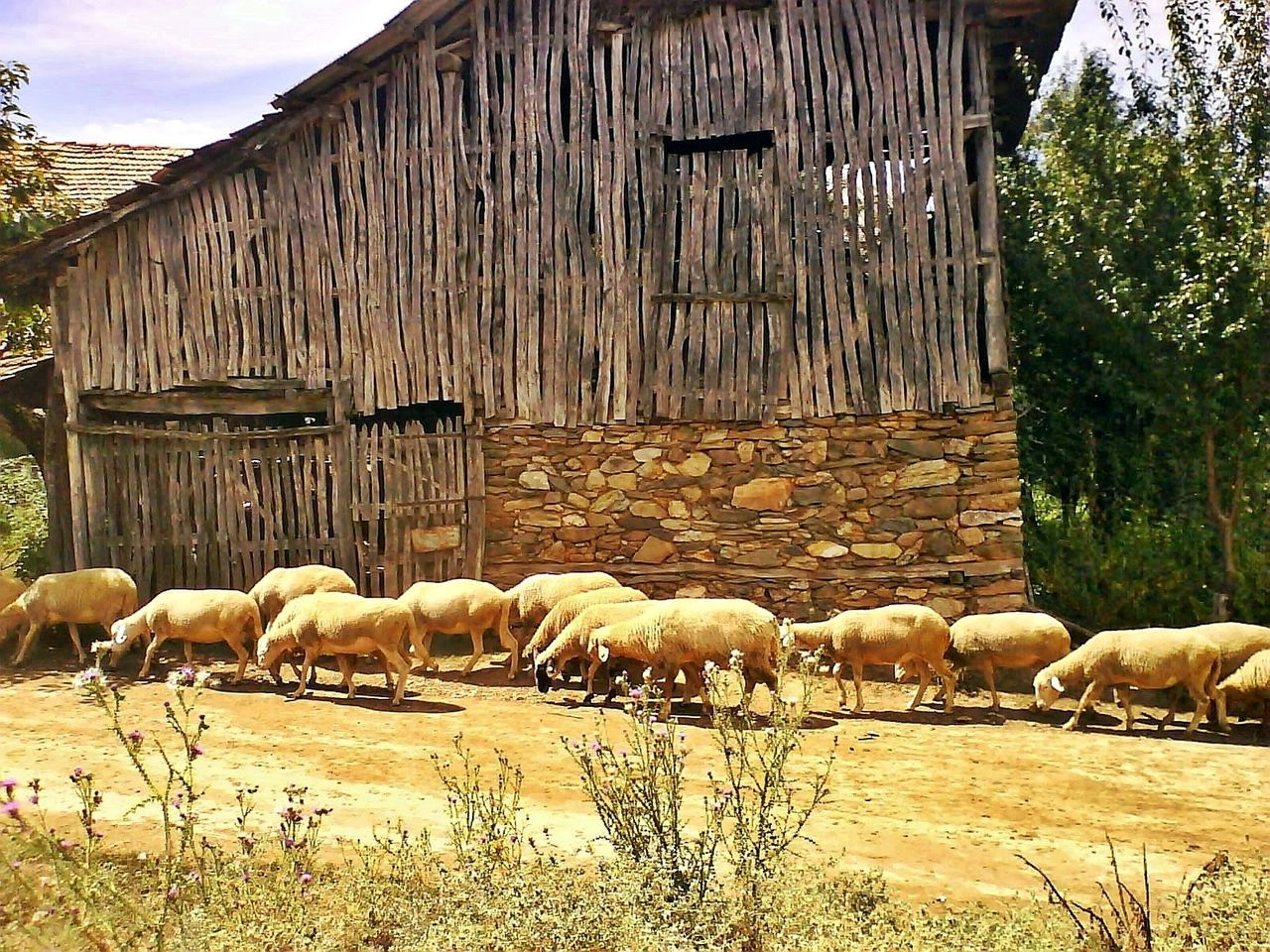 Sheeps Animal Themes No People Nature Outdoors Domestic Animals Beauty In Nature Sheeps Sheep Farm