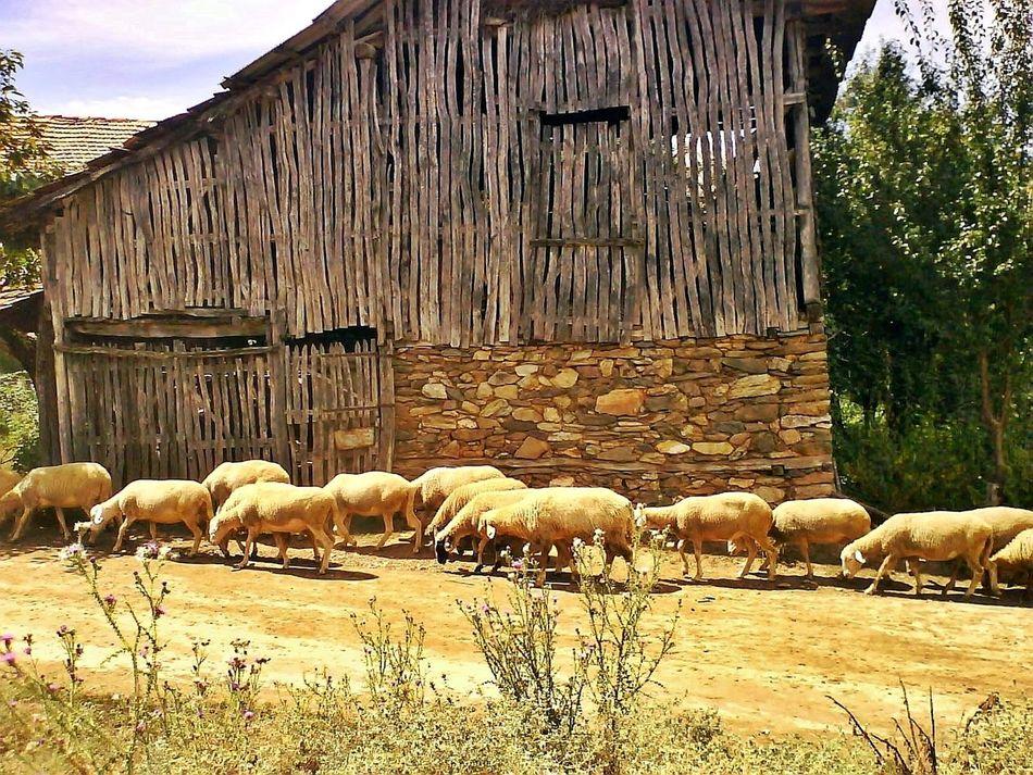 Sheeps Animal Themes No People Nature Outdoors Domestic Animals Beauty In Nature Sheeps Sheep Farm Beautiful Nature Macedonian Nature