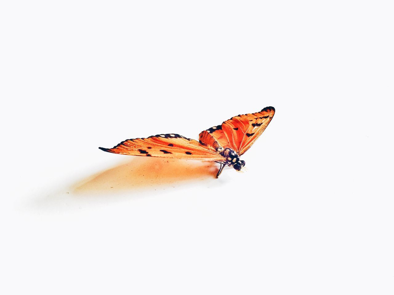 Beautiful stock photos of butterfly, Animal Markings, Animal Themes, Animals In The Wild, Bug