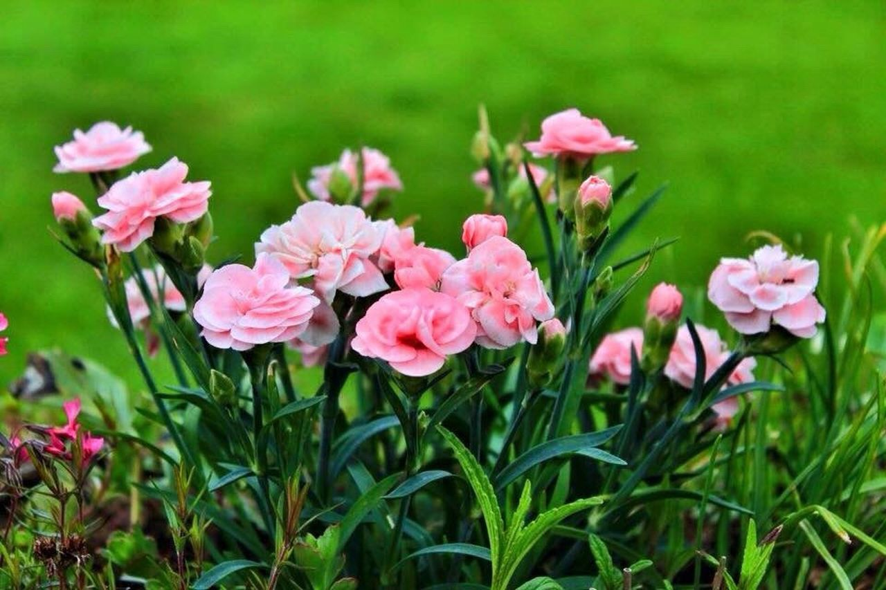 pink color, flower, green color, plant, nature, leaf, flower head, no people, outdoors, petal, day, grass, peony, growth, beauty in nature, close-up, freshness, fragility
