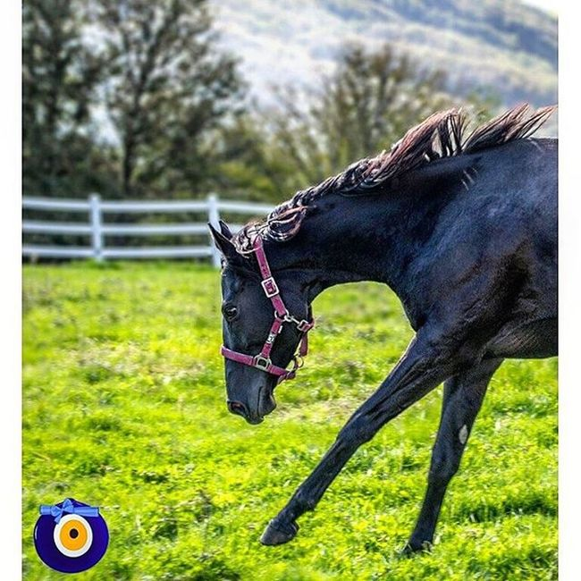 Kraliçe Adakarası G1 Winner Filly Horse Racehorse Morning Sunrise Nature Equine Equestrian Hipodrom Equestrianlife Stable Sport Filly Colt Forest Green Gopro Landscape Cloud Clouds Sky treetreesworldwideworldgrassrundslr