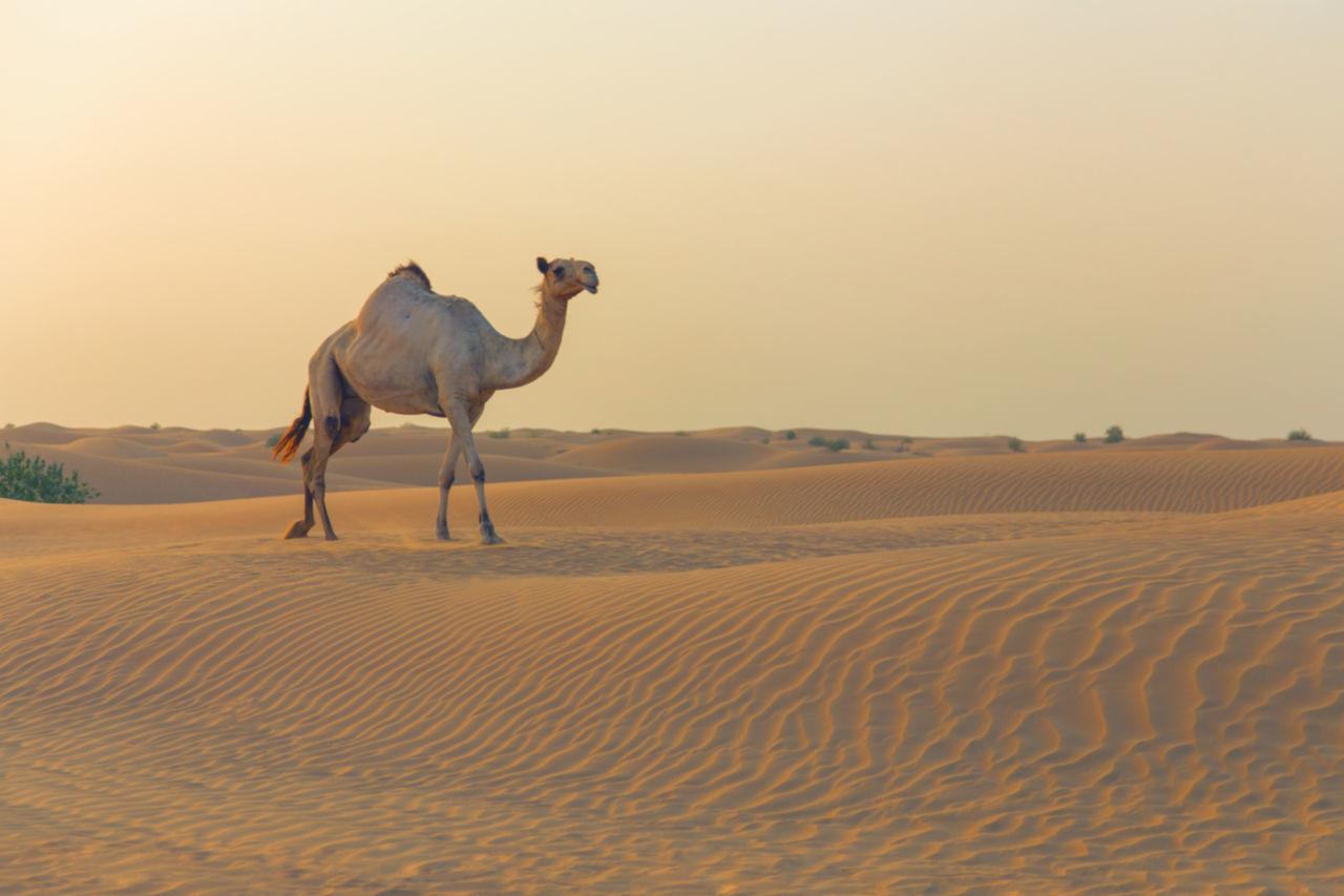 Beautiful stock photos of dubai, Camel, Chemnitz, Copy Space, Day