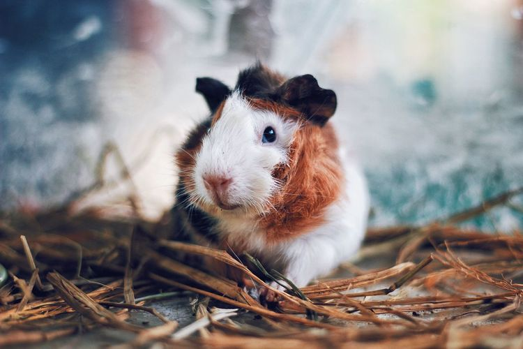 Starring guinea pig. One Animal Animal Themes Pets Mammal Domestic Animals No People Nature Portrait Close-up Day Live For The Story The Great Outdoors - 2017 EyeEm Awards EyeEmNewHere