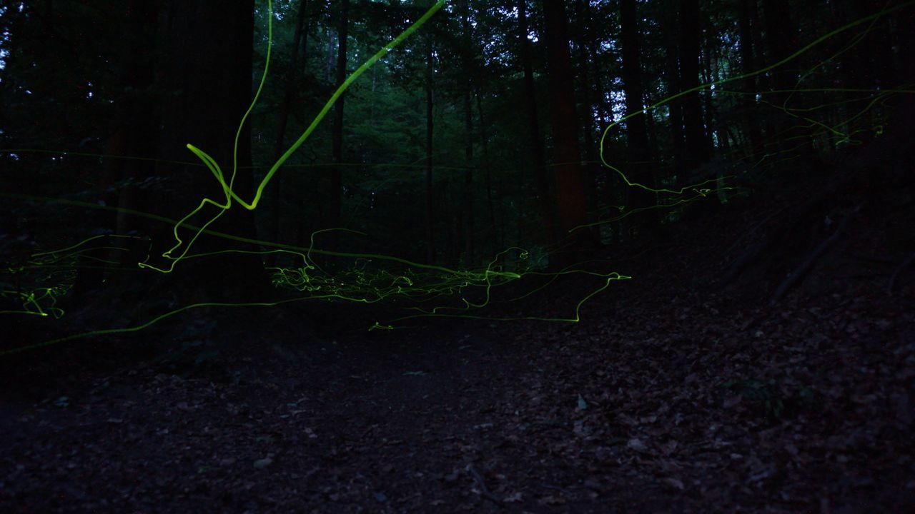 Night Forest No People Tree Nature Outdoors Freshness Nature Fireflies Fireflies In The Night  Fireflies At Night Flying Fireflies