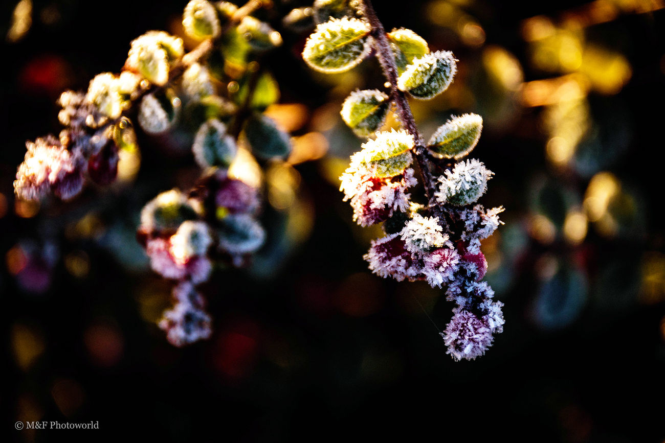 Beauty In Nature Berry Fruit Fragility Freshness Ice Nature No People Plant Winter