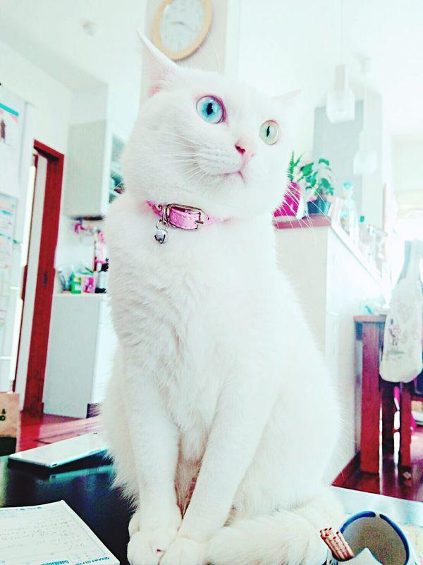 White Cat Odd Eye Blue Eye Yellow Eye Cat Animal Pet Animal Themes