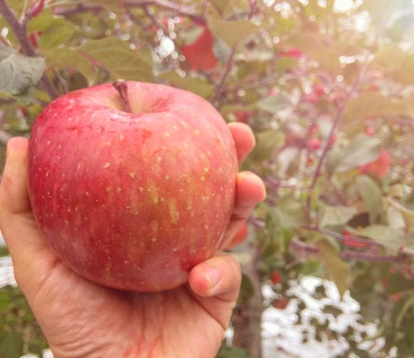 Fresh Fuji apple from organic farm in Japan Ripe Organic Apple Human Body Part One Person Human Finger Freshness Food And Drink Food Close-up Day Nature Red Tree Healthy Eating Lifestyles
