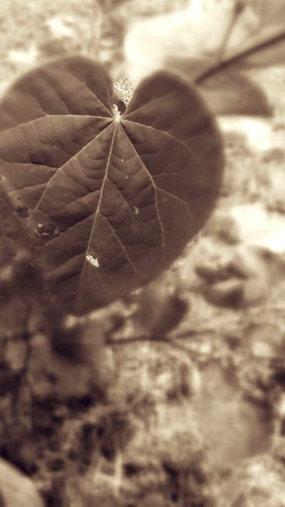 Close-up Leaf Fragility Plant Nature Focus On Foreground Growth Selective Focus Leaf Vein Freshness Beauty In Nature Outdoors Day Green Color Botany Softness Tranquility No People Close-up Leaf Fragility Plant Nature Focus On Foreground Growth