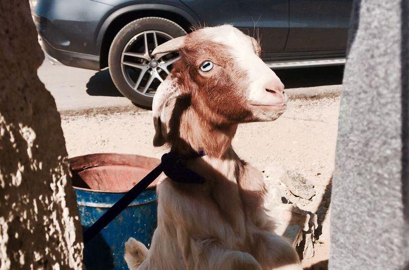 Domestic Animals Outdoors Mammal Animal Themes Livestock One Animal No People Close-up Goat Life Goat EyeEmNewHere Lebanon Bekaa Valley Baby Goat