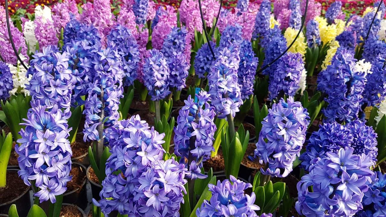 Flower Purple Freshness Fragility Nature Blue No People Beauty In Nature Growth Hanging Backgrounds Full Frame Day Hyacinth Outdoors Flower Head Blooming Hyacinths HyacinthFlowers Hyacinth Flower Hyacinth,spring Hyacinthus Hyacint Growth Beauty In Nature