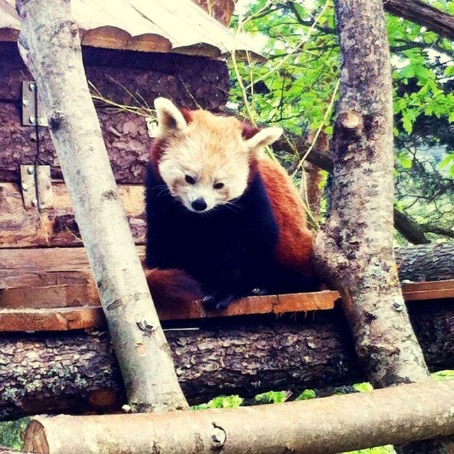 Parc Animalier D'Auvergne Animals Pandaroux Mimi