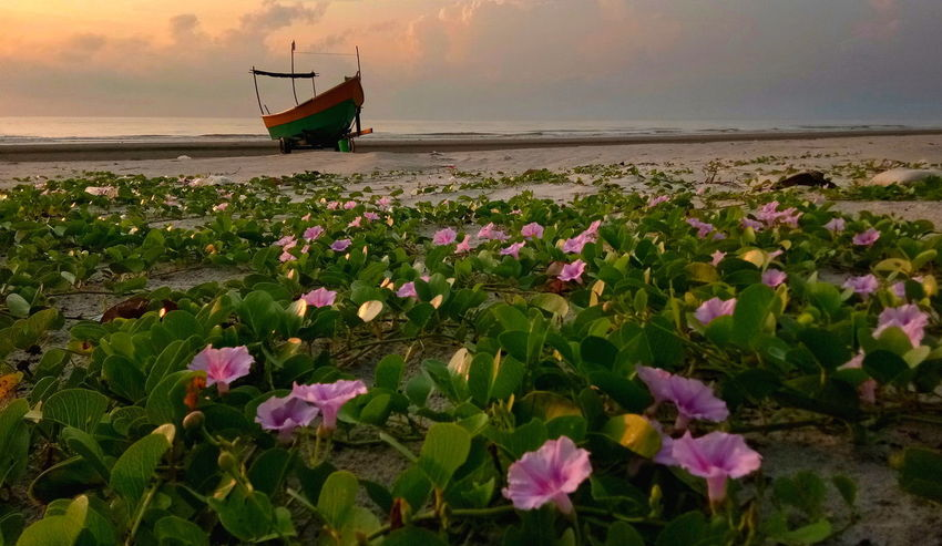 Flower Growth Pink Color Landscape Outdoors Beauty In Nature Greenleaf Sunrise Boat Sea Foreground