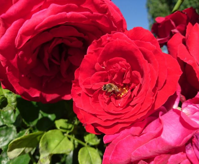 Enjoying The Sun Picnic Relaxing Smile Happy Nature Naturelovers Niceweather Nature Photography Taking Photos Roses Rose - Flower Rose🌹 Nothingness Red Highland EyeEm Gallery Tao  Flowerphotography Flowerphoto Flowerphotographer HoneyBee Honeybee On Wild Rose Honeybee On Flower Bee
