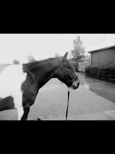 Bullie🦄 Bullie Horse Staljasper Horses Paard Pferd Pferde
