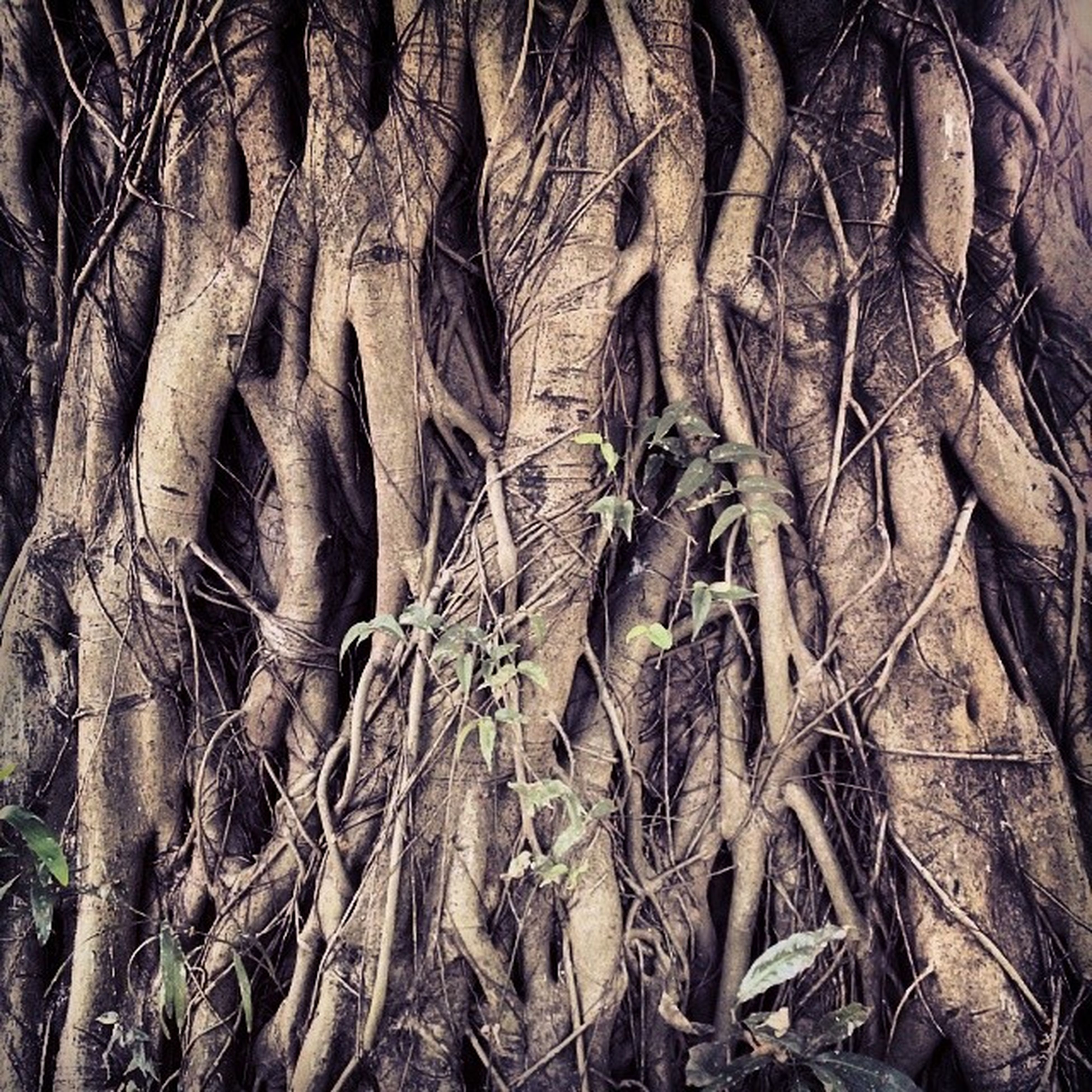 tree, full frame, tree trunk, backgrounds, branch, low angle view, nature, root, growth, forest, bare tree, close-up, no people, textured, outdoors, dead plant, tranquility, bark, day, natural pattern