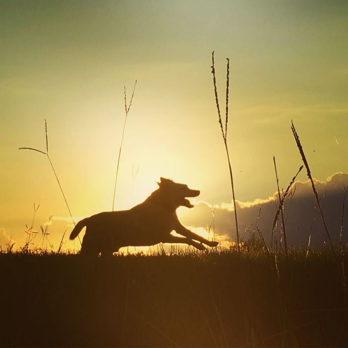 Dog One Animal Animal Themes Sunset Grass Domestic Animals Plant Tranquility Silhouette Mammal Tranquil Scene Nature Pets Sky Scenics Beauty In Nature Outdoors Cloud Sea Focus On Foreground Orange Color Sunset_collection Sunset Silhouettes Dog Silhouette Dog